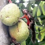 Squirrel and jackfruit